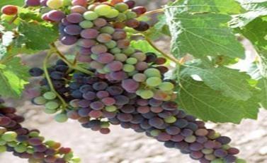 Uvas enveradas