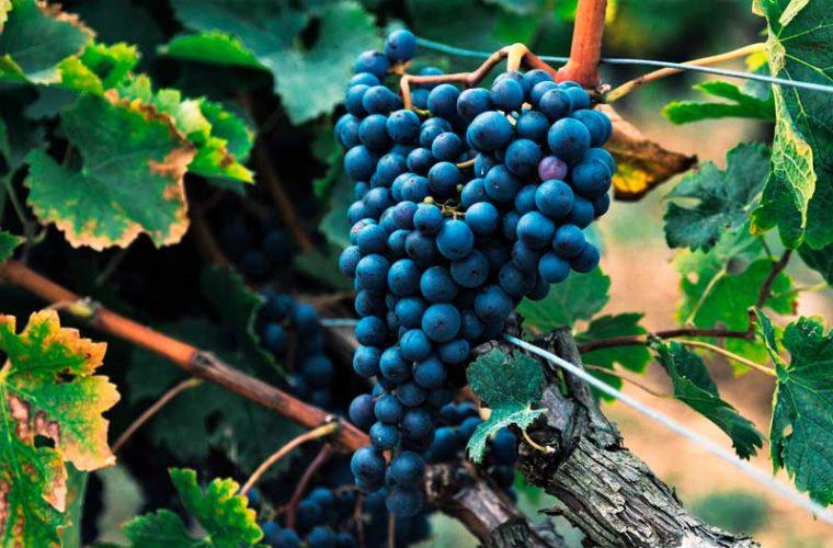 ¿Qué aprovechamos de la uva?