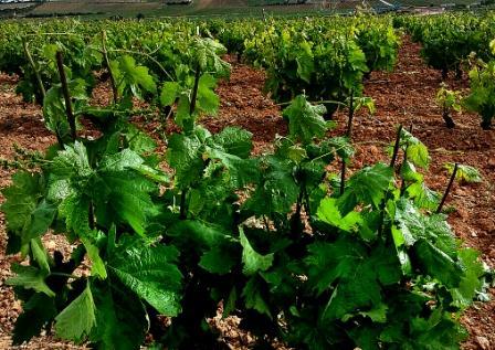 ¿Cómo están las viñas en primavera?