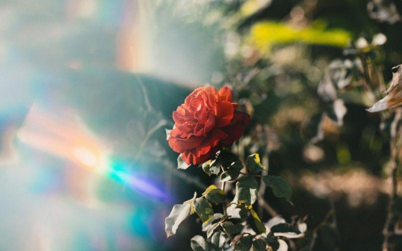 La función de los rosales en el viñedo