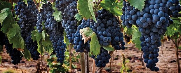 Tempranillo, la uva tinta de Rioja