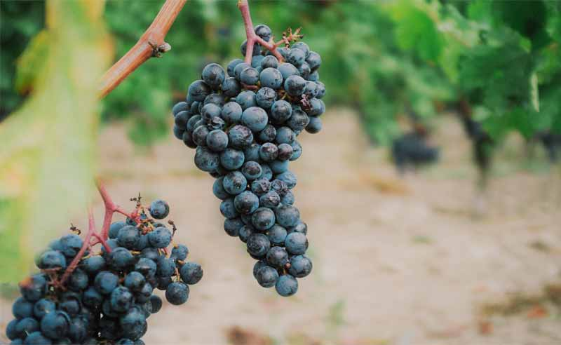 Fin de la vendimia en Rioja