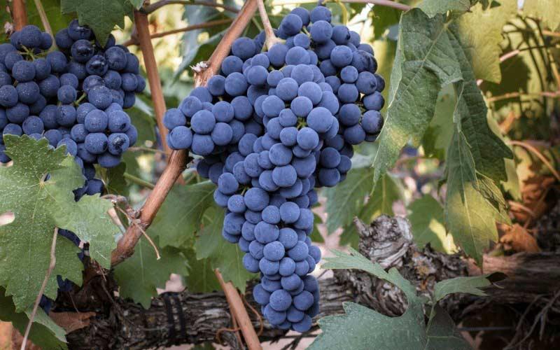 tempranillo-uva