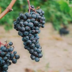 Fin Vendimia Rioja