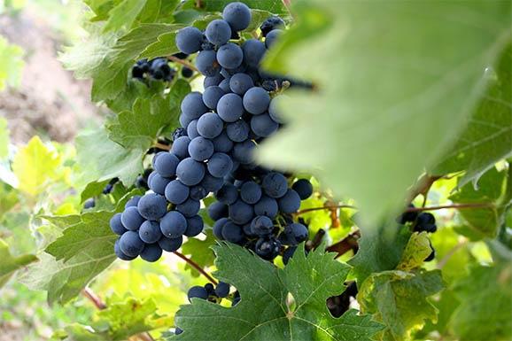 Uva Tempranillo Tinto Rioja