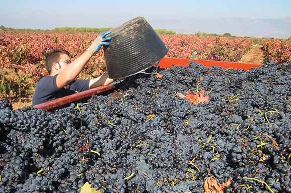Vendimia Cenicaro Rioja