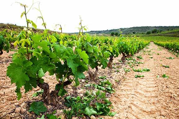 Viñedos Rioja Alta 3
